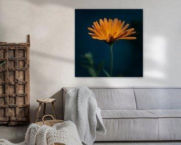 Orange Blume auf dunkelblauem Hintergrund von Diana van Neck Photography