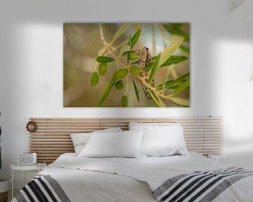Cicade in een olijfboom