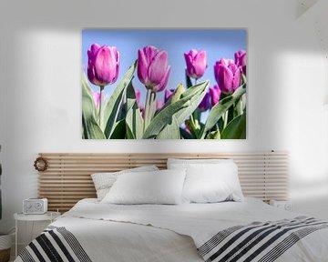 Lila Tulpen von Josephine Huibregtse