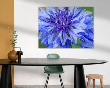 Blaue Kornblumenblüte vor grünem Hintergrund von Reiner Conrad