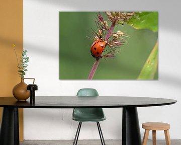 Lieveheersbeestje op een plantenstengel van Reiner Conrad