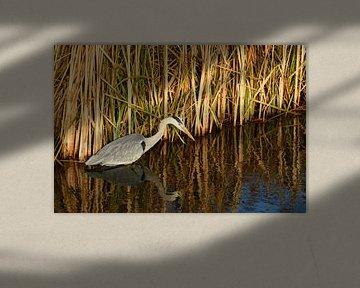 Reiger vogel staat in de sloot voor het riet in de platteland natuur. van Trinet Uzun