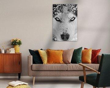 Siberian Husky Schwarzweiss-Nahaufnahme  von Brenda Gonzalez