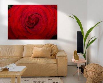 Nahaufnahme blühende rote Rose von Photo Henk van Dijk