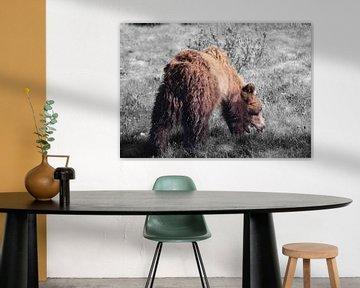 Weidender Grizzlybär im Banff National Park, Kanada (schwarzer und weißer Hintergrund) von R.Phillipson