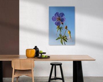 Lila Blume, Pelikanpflanze