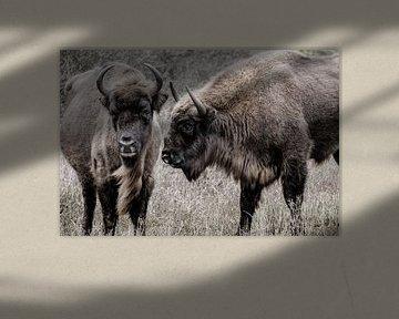 Deux sages (bisons d'Europe) l'un à côté de l'autre dans les dunes de Kennemer sur Melissa Peltenburg