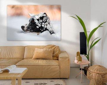 Husky steekt hoofd uit boven de sneeuw van Martijn Smeets