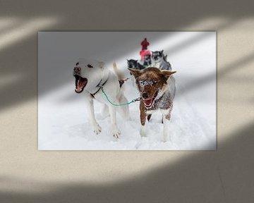 Huskies ziehen Hundeschlitten durch den Schnee von Martijn Smeets
