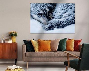 Husky lové dans la neige sur Martijn Smeets