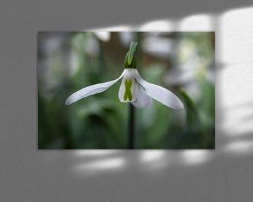 Weißes Schneeglöckchen Blume von Digikhmer