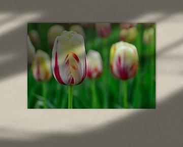 Tulpe von Lambertus van der Vegt