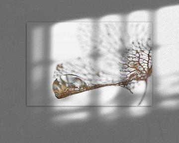 Tropfen auf tote Hortensienblüte von Ad Jekel