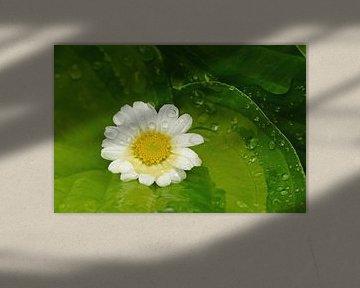 Ah, Marguerite... (Gänseblümchen auf grünen Blättern) von Caroline Lichthart