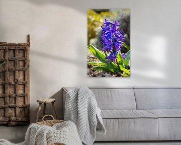 Gartenhyazinthe (Hyacinthus orientalis) von Alexander Ludwig