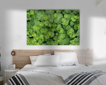 Ein grüner Frauenmantel mit Regentropfen auf den Blättern von Gert Bunt