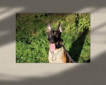 Glücklicher Malinois-Schäferhund von Rosalie Broerze
