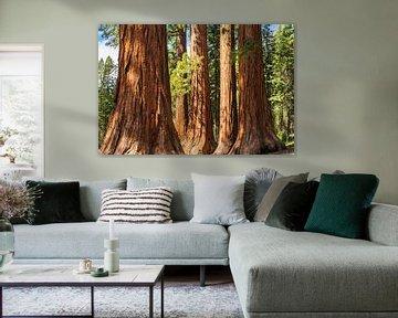 Sequoia's in Mariposa Grove, Yosemite National Park, Californië, Verenigde Staten, VS, van Markus Lange