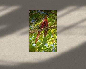 Ara papegaai in Costa Rica van Bianca Kramer