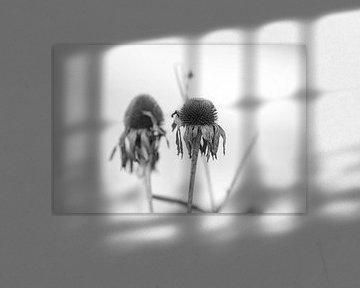 Effloreszenz Echinace von Hanneke Bantje