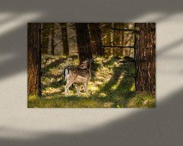 Hert in de Natuur