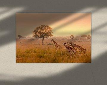 Eine Familie von Giraffen im Morgenlicht von Gunter Nuyts