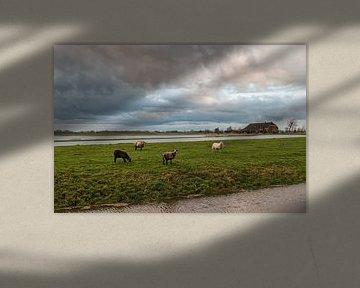 Schapen op het platteland van Groningen van Annie Postma