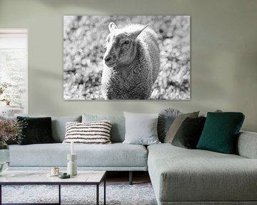ein junges Schafslamm (Lamm) in Schwarz und Weiß von John Quendag