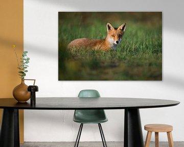 Ook vossen genieten van de zomerse avondzon van Koen Hoekemeijer
