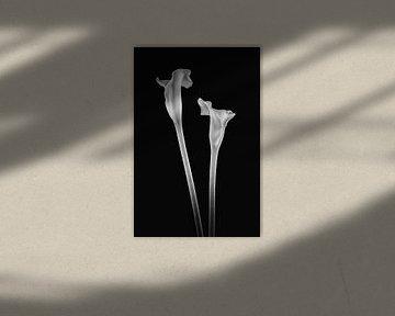 Callas 2 in schwarz und weiß von Karin aan de muur
