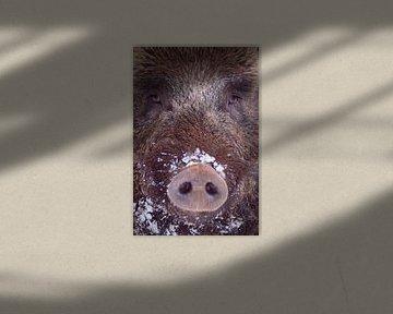 Porträt eines Wildschweins von Sam Mannaerts