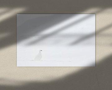 Schneehühner in der verschneiten Landschaft von Sam Mannaerts Natuurfotografie