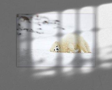 Arctic Fox spielen von Sam Mannaerts