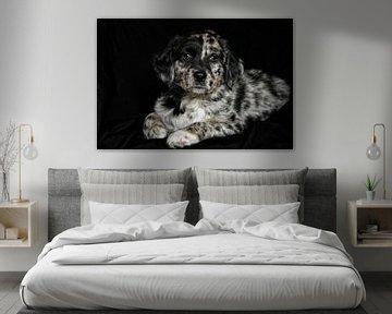 Australian Shepherd Welpe von Claudia Moeckel
