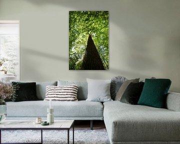 Stieleiche in  der Goor, Lauterbach auf Rügen von GH Foto & Artdesign