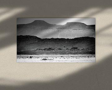 Dromedar in der Wüste von Sam Mannaerts Natuurfotografie