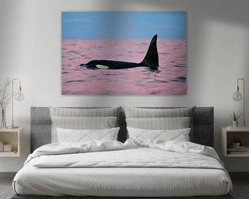Een roze dolfijn of toch een prachtige orka? van Koen Hoekemeijer
