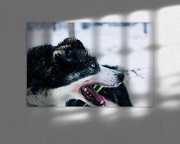 Husky sibérien sur Jesse Doesburg