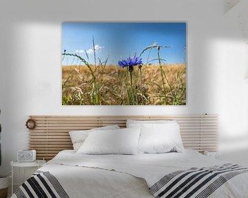 Kornblume im Gerstenfeld von GH Foto & Artdesign
