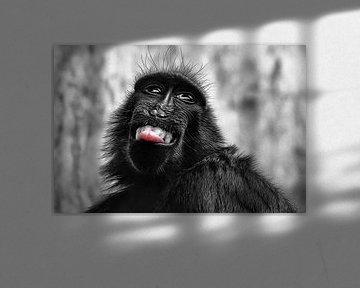 Schopfmakakenaffe mit herausstehender Zunge von Chihong