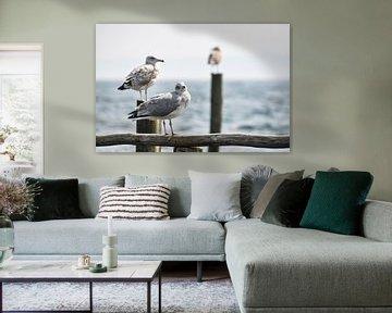3 Möwen auf Buhnen in Vitt von GH Foto & Artdesign