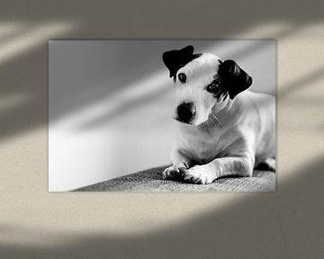 Niedlicher Jack Russel Terrier von Part of the vision