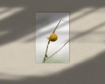 Schnecke mit Schneckenhaus, klein und gelb, klammerte sich an einen Grashalm. von John Quendag