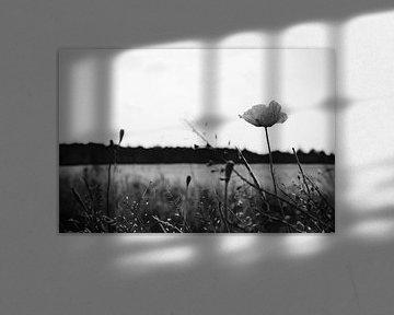 Roadside Mohnblumen in stimmungsvollem Schwarz und Weiß von ellenklikt