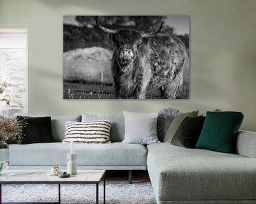 Schotse hooglander Rund van Kuifje-fotografie