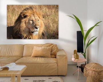 Löwe in der Masai Mara, Kenia von Jan Fritz