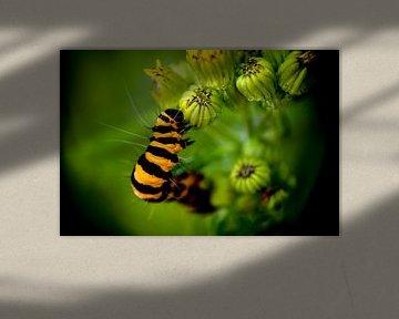 St.-Jakobs-Schmetterlingsraupe von J..M de Jong-Jansen
