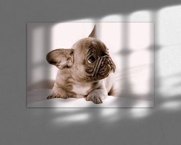 Franse bulldog van Marcel Kelfkens