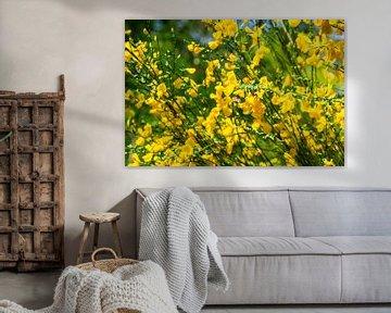 Blühender Ginster mit Hummel in der Sonne von Andrea de Jong
