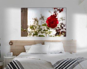Nahaufnahme rote Rose von Percy's fotografie
